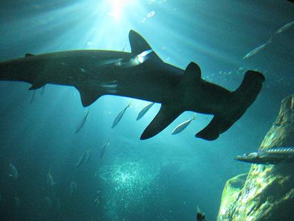 Vacances à la mer : attention aux requins, même en France | Vie pratique | Scoop.it