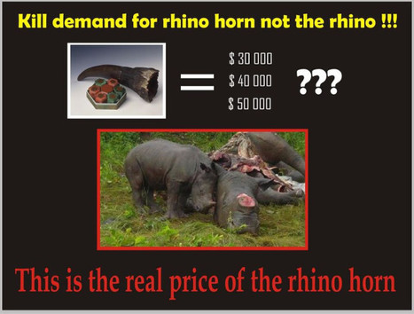 Real Price of Rhino Horn... Kill the Demand not the Rhino | What's Happening to Africa's Rhino? | Scoop.it
