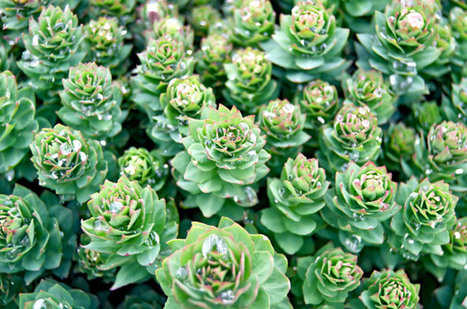 Rhodiola Rosea: Benefiting the Mind, Balancing the Body | HealersJournal | Scoop.it