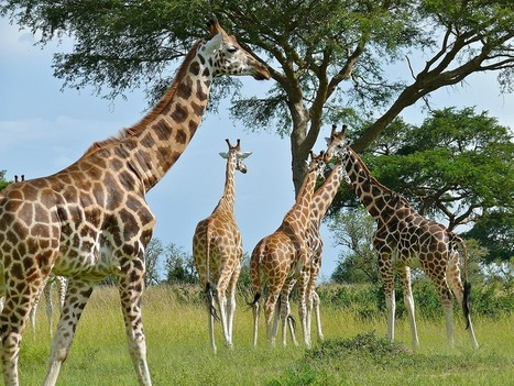 Why is The Rothschild's Giraffe in a Dire Predicament | Human-Wildlife Conflict: Who Has the Right of Way? | Scoop.it