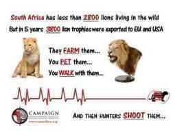 Tackling the Import/Export of Lion Trophies in EU | Biodiversity | Scoop.it