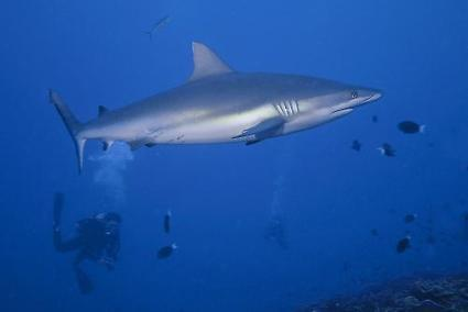 Shark behaviour affected by full moon | X-Ray Magazine | Sharks to protect | Scoop.it