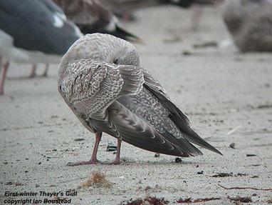 Thayer's Gull in Denmark, surfbirds.com   Bird ID   Scoop.it