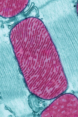 The Shrinking Mitochondrion Phenomenom | Amazing Science | Scoop.it