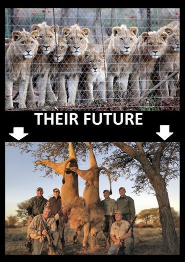 TROPHY & CANNED HUNTING: Elephants, rhinos, lions, leopards, Tigers For Trophy Hunting VIDEO