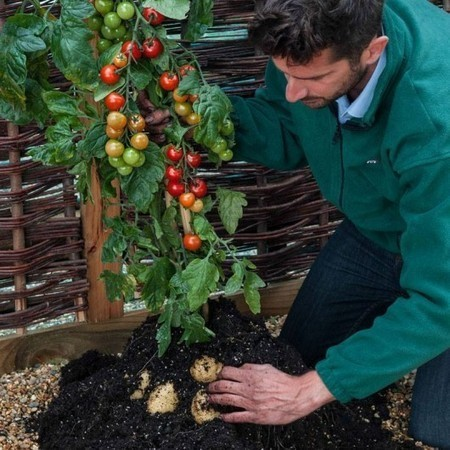 TomTato plant grows both tomatoes and potatoes | Innovation in agri | Scoop.it