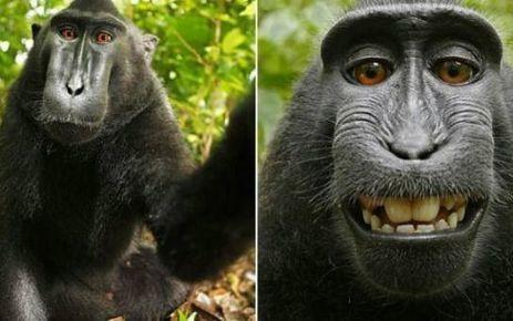 Quand un selfie pris par un singe entraîne une bataille de droits d'auteur !   Libertés Numériques   Scoop.it