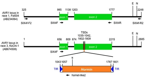 PLoS ONE: A Genetic Mechanism for Emergence of Races in Fusarium oxysporum f. sp. lycopersici: Inactivation of Avirulence Gene AVR1 by Transposon Insertion (2012) | applied genomics | Scoop.it