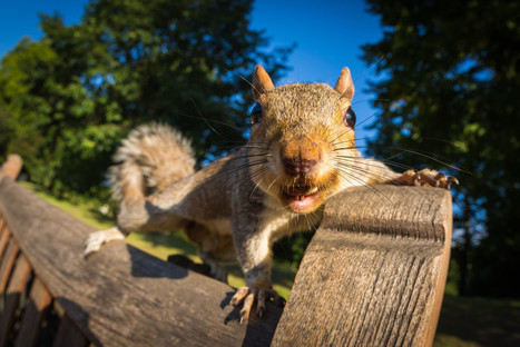 Squirrel Control  - Pest Solutions | St. Louis Pest Control | Green Energy | Scoop.it