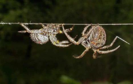 ScienceShot: How Spiders Keep the Peace - ScienceNOW   Beginning Meditation   Scoop.it