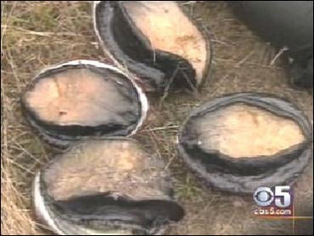 Abalone Deaths Along Sonoma County Coastline Blamed On Microscopic SeaCreature - CBS San Francisco | Mendocino County Living | Scoop.it