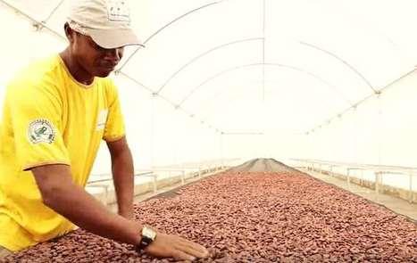 Resultado de imagem para São Tomé e Príncipe encaixa 8,3 milhões de dólares com exportação de cacau em 2016