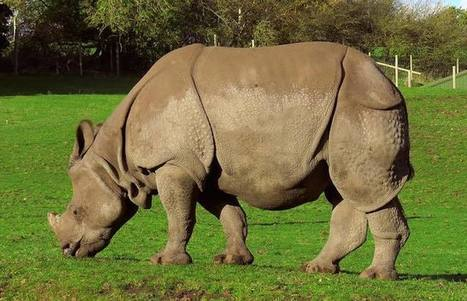 Nepal Celebrates Second Year of Zero Rhino Poaching - Good News Network | Save our Rhino and all animals...this is what it looks like!!!!! | Scoop.it