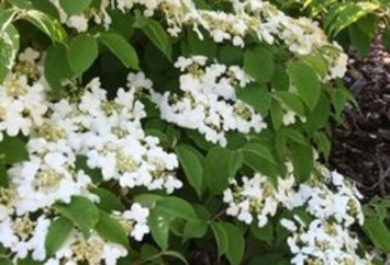 In the Garden: There's a viburnum just right for your yard   The Wenatchee World   Container Gardening   Scoop.it