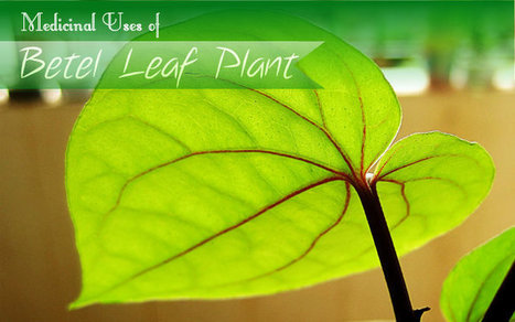 Medicinal Uses of Betel Leaf Plant   At Home Health and Beauty Tips   Scoop.it