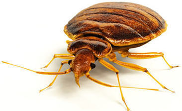 Interesting Bed Bug Facts That You Must Know! | Bed Bugs Bed Defense | Scoop.it