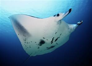 Secret lives of Great Barrier Reef manta rays revealed | scubadiving | Scoop.it