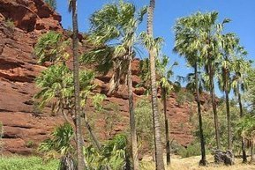 Research findings back up Aboriginal legend on origin of palm trees | Australian Plants on the Web | Scoop.it