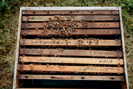 How to Keep Honeybees - Modern Farmer | @FoodMeditations Time | Scoop.it