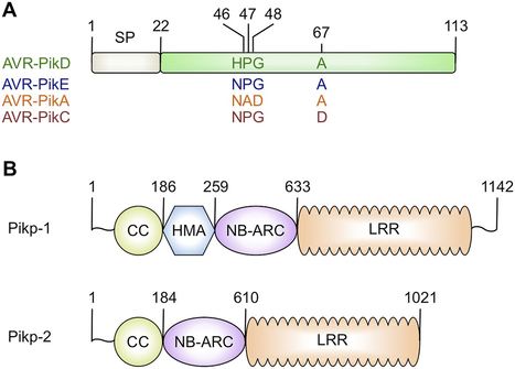 eLIFE: Structural basis of pathogen recognition by an integrated HMA domain in a plant NLR immune receptor (2015) | Publications from The Sainsbury Laboratory | Scoop.it