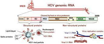 The hepatitis C virus protein NS3 suppresses TNF-α–stimulated activation of NF-κB by targeting LUBAC | Hepatitis C New Drugs Review | Scoop.it