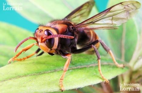Frelon asiatique en Moselle : peur sur les abeilles | apiculture 2.0 | Scoop.it