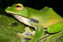 New giant flying frog discovered near city of 9 million | 100 Acre Wood | Scoop.it