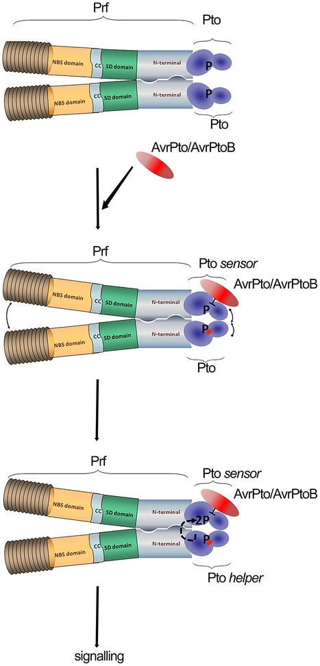 PLOS Pathogens: The Tomato Prf Complex Is a Molecular Trap for Bacterial Effectors Based on Pto Transphosphorylation (2013) | Plants and Microbes | Scoop.it