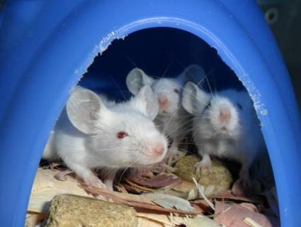 Mice discriminate partial sounds just as humans do with partial words - Phys.Org | Rodent Models In Research | Scoop.it