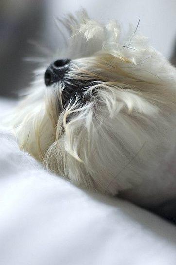 Tweet from @geoffnread | West Highland White Terrier | Scoop.it