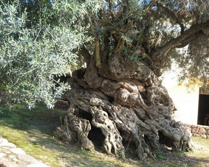 The world's 10 oldest living trees: Olive Tree of Vouves | Trees and Woodlands | Scoop.it