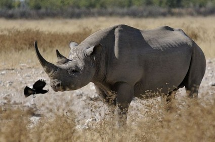 Questionable 'Science' Behind Controversial Rhino Hunt Auction :: ANNAMITICUS | Increase Biodiversity - Species Protection, Preservation, & Promotion | Scoop.it