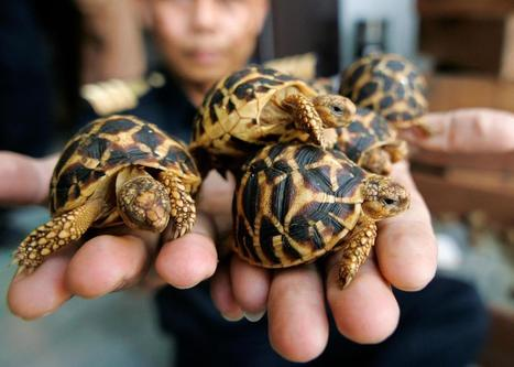 How the Growing Trade in One Tortoise Puts Others at Risk | Wildlife Trafficking: Who Does it? Allows it? | Scoop.it