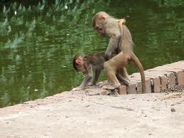 Monkey helps other monkey to drink!!! #Respect | Monkeys4life | Scoop.it