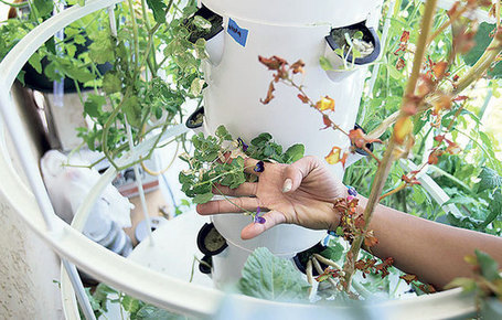 "A compact garden system lets Wendy Loh grow ""a medicine chest"" on her condo ... - Honolulu Star-Advertiser 