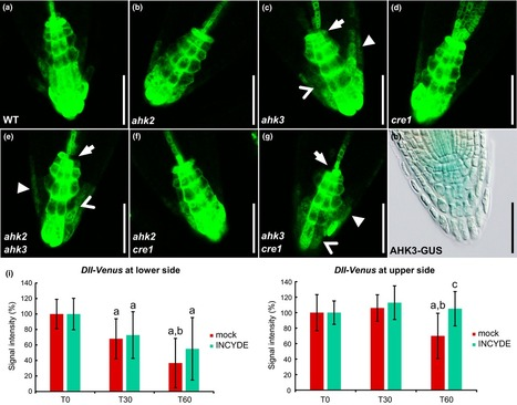 Cytokinins influence root gravitropism via differential regulation of auxin transporter expression and localization in Arabidopsis - Pernisova - 2016 - New Phytologist - | Emerging Research in Plant Cell Biology | Scoop.it
