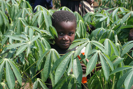 """Cassava a """"Climate Ready"""" Crop - The Environmentalblog.org 
