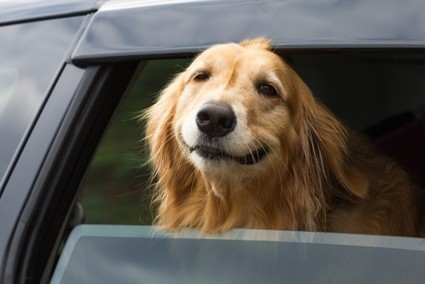 Riding in Cars with Dogs? Stay Safe.   Animal Bliss   Animal Welfare   Scoop.it