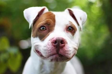 Pit Bull Discrimination – A People Problem?   Animals R Us   Scoop.it
