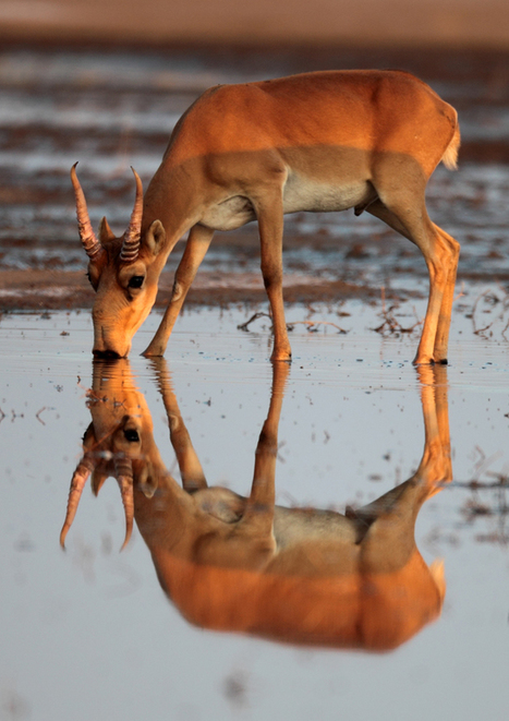 What is a saiga and why should we care about it? | Biodiversity protection | Scoop.it