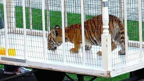 New Baby Tiger Unveiled To Screaming Stadium Despite Protests | Nature Animals humankind | Scoop.it