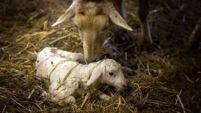 Un agneau à huit pattes et trois yeux né au Kazakhstan | Mais n'importe quoi ! | Scoop.it