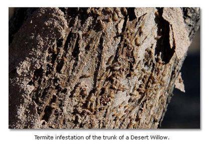 Termites | Desert USA | CALS in the News | Scoop.it