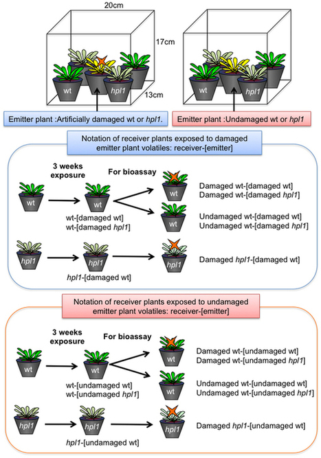 Intermittent exposure to traces of green leaf volatiles triggers a plant response : Scientific Reports : Nature Publishing Group | Plant Genomics | Scoop.it