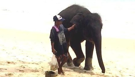 Baby Elephant Is Kidnapped So Tourists Can Take Pictures With Her | Pachyderm Magazine | Scoop.it