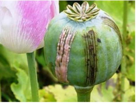 Guatemala considers legalizing opium growing for medicinal market | Drugs & Democracy | Scoop.it