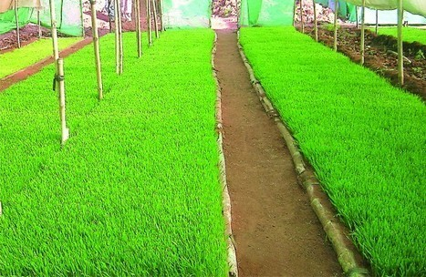 Le jus d'herbe de blé, un concentré de vitalité | La santé au naturel | Scoop.it