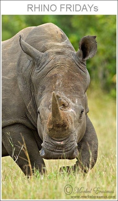 Rhino Fridays | Africa Geographic Magazine Blog | Kruger & African Wildlife | Scoop.it