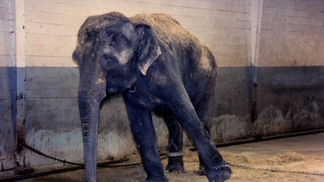 Kelly Miller Circus: Retire Abused Circus Animals! | ~ADVOCATING FOR ALL ANIMALS~ | Scoop.it