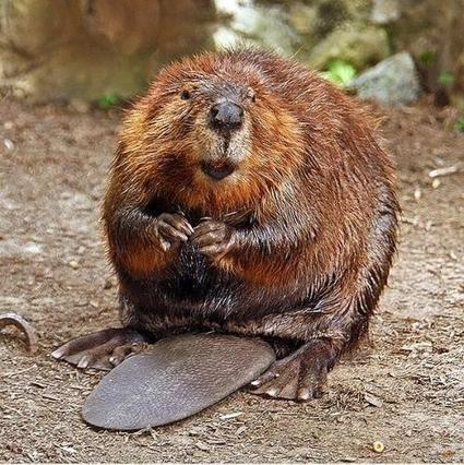 Geoscientist finds beavers play a role in climate change | Sustain Our Earth | Scoop.it